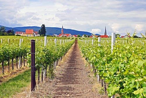 Große Weinanbau-Plantage in Rheinland-Pfalz
