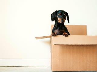 Hund sitzt im Umzugskarton