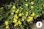 Echtes Johanniskraut für Ihren Garten
