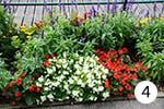 Eisbegonie für Ihren Garten