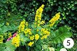 Gelbe Nachtkerze für Ihren Garten