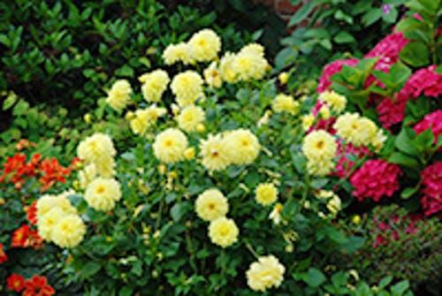 Dahlien für Ihren Garten